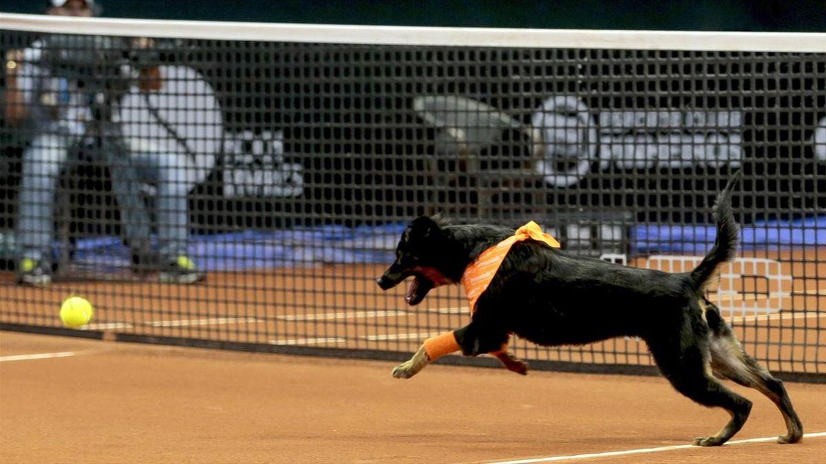 Brezilya Açık top toplayıcı köpekler