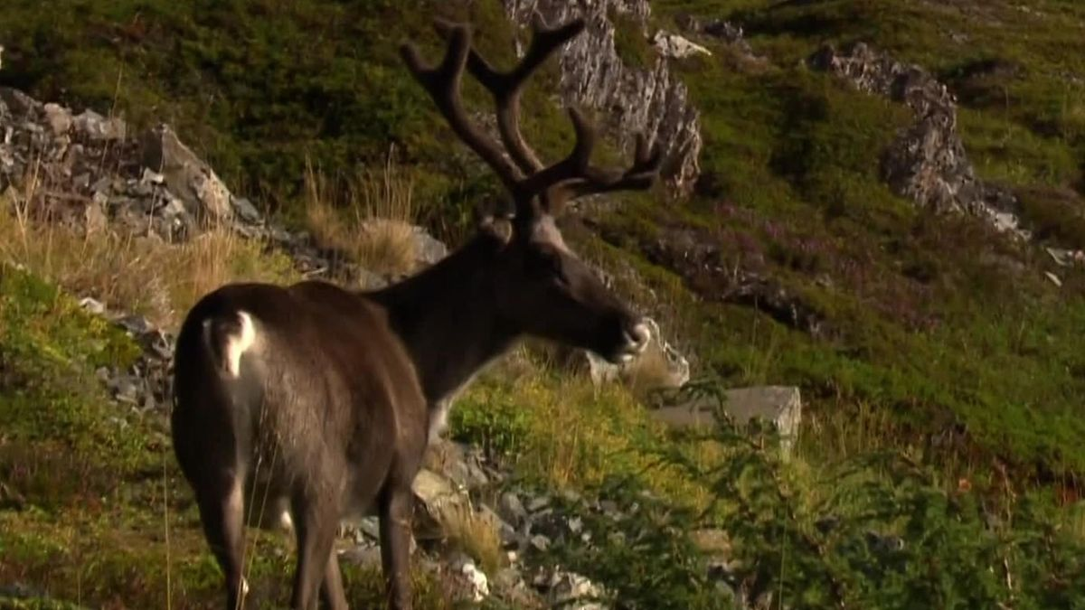 Artic Race of Norway - Stage 3 - Reindeer run along the road