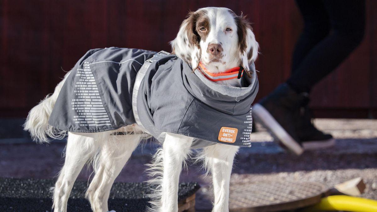 Molly a világ első doppingkereső kutyája