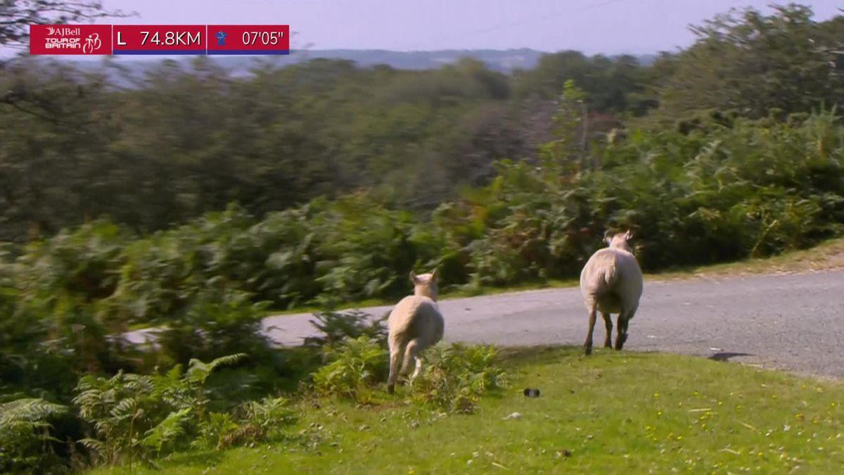 Tour of Britain | Enkele schapen melden zich in het peloton
