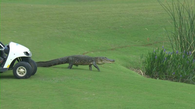 Крокодил на поле притормозил игру гольфистов на турнире в Нью-Орлеане