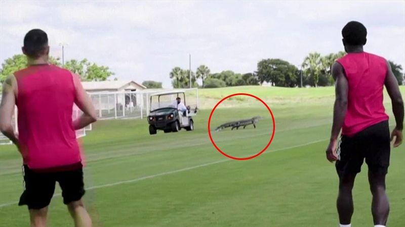 Alligatore invade il campo durante l'allenamento del Toronto